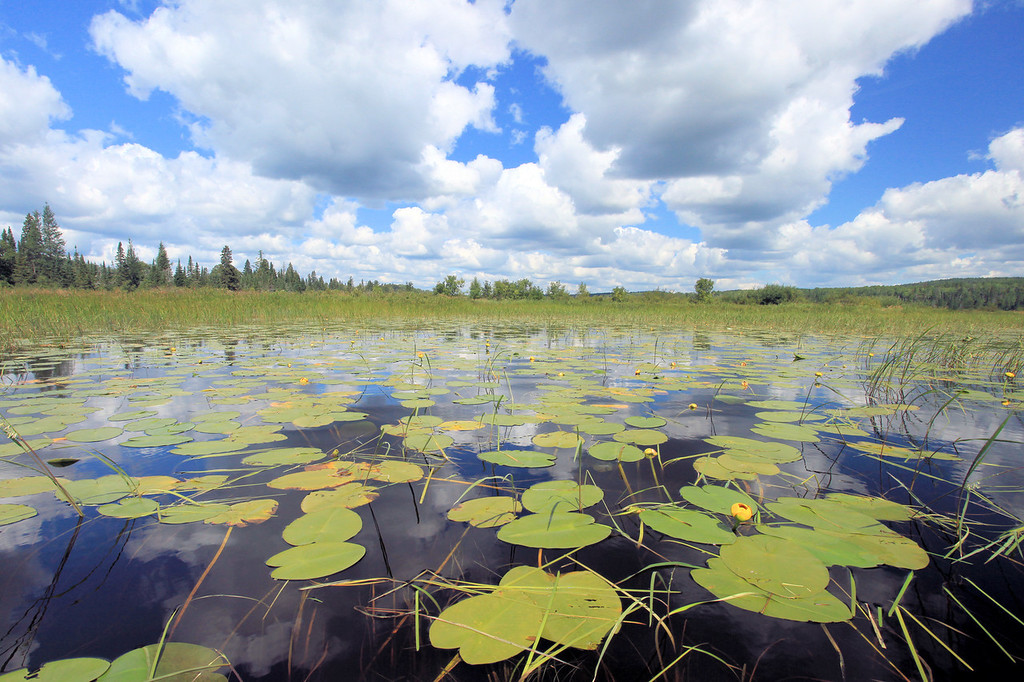 """SUNDAY, AUGUST 12, 2012<br /> <br /> LAKES 6755<br /> <br /> """"Lily Pad Paradise""""<br /> <br /> Here's a recent shot from a paddling outing on the Brule River and Northern Light Lake along the Gunflint Trail in northeast Minnesota.  This is such a beautiful location to spend the day paddling.  You start out paddling downstream along the Brule River and eventually the river empties into Northern Light Lake.  This shot was taken near where the river meets the lake.  Where the two waters meet there are lily pads everywhere.  For the past few years I've been trying to get a nice shot of lily pads with a nice sky full of summer clouds.  This is my favorite attempt so far at this type of shot.  <br /> <br /> Camera: Canon EOS 5D Mark II<br /> Lens: Canon EF 17-40mm<br /> Focal length: 17mm<br /> Shutter speed: 1/160<br /> Aperture: f/16<br /> ISO: 500"""