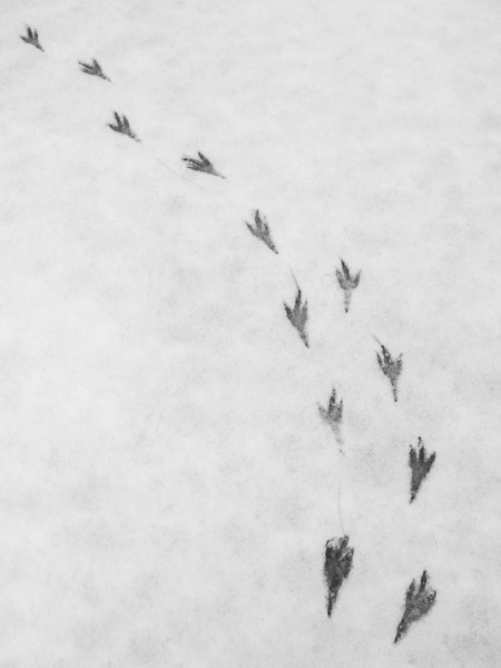 """SUNDAY, DECEMBER 16, 2012<br /> <br /> ANIMALS BY AIR 4096<br /> <br /> """"Raven tracks in snow""""<br /> <br /> From today's walk in the woods.  I love winter for many reasons, and one of those reasons is the snow makes it easier for us to see what the animals have been up to.  Today I found these raven tracks... they were in the middle of an opening in the woods, beginning with the two tracks in the lower right.  Apparently this raven landed, then hopped on both feet a few times before beginning to walk.  It sure was a fun find :-) <br /> <br /> Camera: Canon PowerShot G11<br /> Focal length: 6.1mm<br /> Shutter speed: 1/800<br /> Aperture: f/4<br /> ISO: 200"""