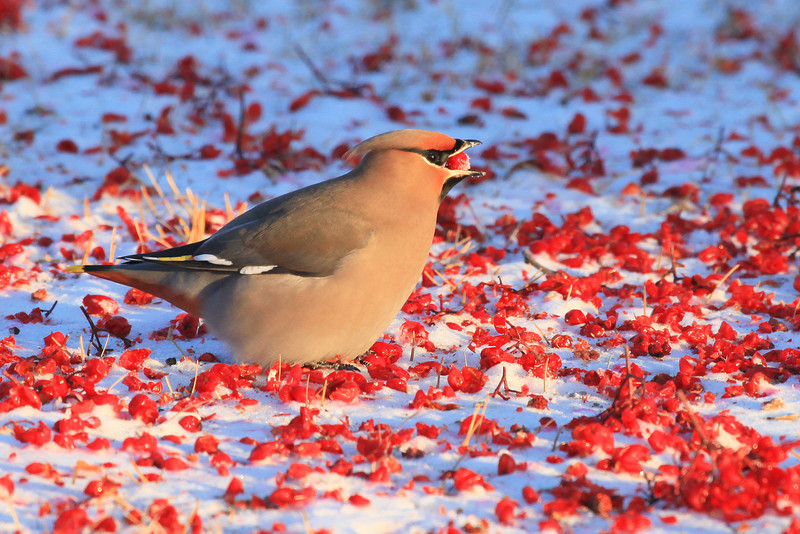 "FRIDAY, JANUARY 20, 2012<br /> <br /> ANIMALS BY AIR 4699<br /> <br /> ""Waxwing and Mountain Ash Berries""<br /> <br /> With the cold weather hanging on for another night, I figured I would get up early and drive to Grand Marais to photograph the steam behind the lighthouse. What I wasn't figuring on were the thousands of Waxwings that were hanging out in the various trees in the Grand Marais campground. I found one area where all the Mountain Ash berries had blown off the trees and down onto the ground. I watched as hundreds of Waxwings hopped around amongst the berries, choking them down just as fast as they could pick them up. I don't know how I did it, but I managed to isolate this one bird against the backdrop of berries. It is my favorite shot of the morning. <br /> <br /> Camera: Canon EOS 5D Mark II<br /> Lens: Canon EF 100-400mm<br /> Focal length: 400mm<br /> Shutter speed: 1/400<br /> Aperture: f/10<br /> ISO: 1000"