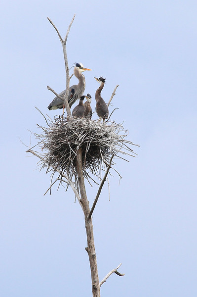 "WEDNESDAY, JUNE 6, 2012<br /> <br /> HERON 8112<br /> <br /> ""Great Blue Heron Family""<br /> <br /> Some of you may remember that almost a month ago I posted some pictures from a visit to a Great Blue Heron rookery. Yesterday I visited the rookery again and WOW how the babies have grown! On my last visit we only saw a couple of babies and only their heads stuck out above the nests. This time, the babies were a lot more visible because they were a LOT bigger! As far as I could tell, all but one or two of the nests had 3 babies in it. That means there are about 45 young Herons in this rookery.<br /> <br /> Camera: Canon EOS 5D Mark II<br /> Lens: Canon EF 100-400mm<br /> Focal length: 400mm<br /> Shutter speed: 1/640<br /> Aperture: f/10<br /> ISO: 800"