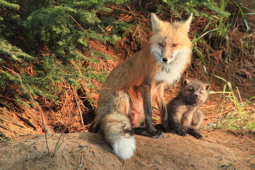 "WEDNESDAY, MAY 9, 2012<br /> <br /> FOX 7021<br /> <br /> ""Fox Mother and Child""<br /> <br /> I spent most of today photographing a family of fox in the Minnesota Northwoods.  The day started with the alarm waking me at 4:30 AM.  I was facing a two-hour drive in order to get to the fox den for the early morning light.  After a quick breakfast I was on the road and by 7:00 AM I was at the fox den.  When I arrived the mother was curled up on the ground near the den.  Just a few minutes after my arrival she went into the den and came back out with the kits following behind her.  For the next 45 minutes they played and wrestled with each other, then mom gave them a quick feeding before putting them back in the den and trotting off for her morning hunt.  I sat and waited for her return, thinking she might be gone an hour or two.  It was just over 5 hours later when she finally returned and once again brought the kits out to play and exercise, this time in the afternoon sun.  I sure had a lot of fun today watching these critters.  I've never seen fox so young before... they sure are cute!<br /> <br /> Camera: Canon EOS 5D Mark II<br /> Lens: Canon EF 100-400mm<br /> Focal length: 400mm<br /> Shutter speed: 1/250<br /> Aperture: f/9<br /> ISO: 2500"