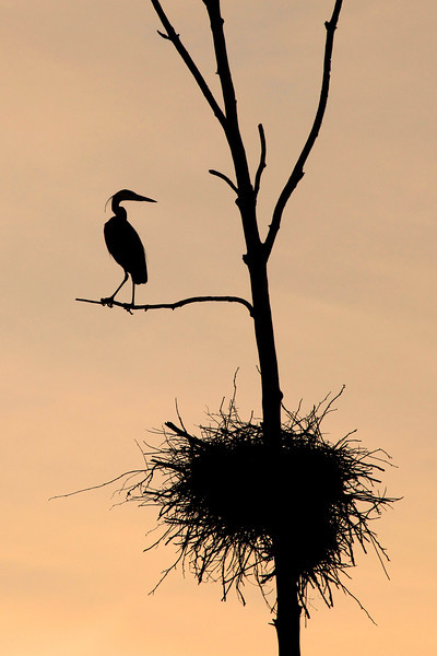 "THURSDAY, MAY 17, 2012<br /> <br /> HERON 7419<br /> <br /> ""Watching over the nest""<br /> <br /> Camera: Canon EOS 5D Mark II<br /> Lens: Canon EF 100-400mm<br /> Focal length: 400mm<br /> Shutter speed: 1/320<br /> Aperture: f/16<br /> ISO: 800"