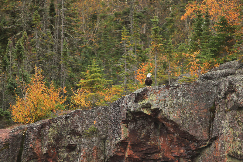 "WEDNESDAY, OCTOBER 10, 2012<br /> <br /> BALD EAGLE 6957<br /> <br /> ""Eagle on a cliff""<br /> <br /> A couple of weeks ago we were driving along Highway 61 on our way to do the hike to Eagle Mountain, the highest point in Minnesota. As I was driving, Jessica was gazing out at Lake Superior when all of a sudden she exclaimed ""There's an eagle sitting on that cliff!"". Of course I had to turn the car around to check it out, since I didn't see it when we first drove by. As we slowly approached the view where she had spotted the bird, sure enough, there he was sitting on the edge of a small (approx. 20 foot tall) cliff overlooking the lake. It was such a strange sight. I've seen eagles on the beach before, mostly going after fish that have been recently cleaned by commercial fishermen. But, I've never seen one perched on a cliff like this. He sat there for a few more minutes before taking off and landing in the top of a nearby tree. The sighting of this bird was a great start to our day, and I took it as a good sign, since we were going to be hiking Eagle Mountain that day :-)<br /> <br /> Camera: Canon EOS 5D Mark II<br /> Lens: Canon EF 100-400mm<br /> Focal length: 400mm<br /> Shutter speed: 1/250<br /> Aperture: f/5.6<br /> ISO: 800"