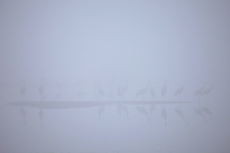 "SATURDAY, OCTOBER 27, 2012<br /> <br /> SANDHILL CRANES 7764<br /> <br /> ""Sandhill Cranes in early morning fog at Crex Meadows""<br /> <br /> This weekend we visited Crex Meadows Wildlife Refuge in Grantsburg, Wisconsin.  We went there because we wanted to see Sandhill Cranes, and Crex Meadows is a great place to see Sandhill Cranes in the fall as they migrate south for the winter.  We were a little worried when we got to the refuge early in the morning, though, as it was incredibly foggy.  In fact, it was so foggy we could not see the birds.  We knew they were there because we could hear them, but the fog was just too thick to see them.  We drove around the refuge roads for a while, and soon the fog started to lift.  At first we could only see a few birds here and there.  The views were cool, though, as you can see by this first group of cranes that we saw that were standing on a sand bar.  <br /> <br /> Camera: Canon EOS 5D Mark II<br /> Lens: Canon EF 100-400mm<br /> Focal length: 350mm<br /> Shutter speed: 1/160<br /> Aperture: f/5.6<br /> ISO: 400"