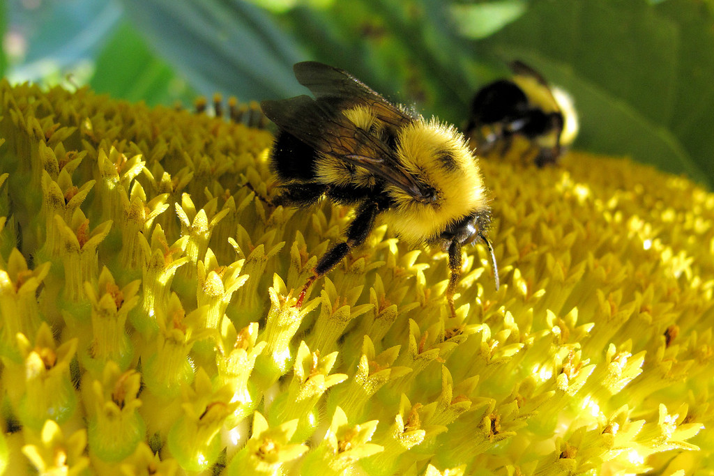 """TUESDAY, SEPTEMBER 18, 2012<br /> <br /> INSECTS 2433<br /> <br /> """"Sunflower Bumblebees""""<br /> <br /> The weather the past few days has sorta been making me miss the hot days of summer. As much as I like cooler weather and like winter, I do enjoy the summer as well. This photo was taken on a hot summer day this past August, in the Grand Portage community garden. There were a lot of bumblebees hanging out on the sunflowers that day, and I had great fun taking macro shots of them with my Canon G11 camera. This is my favorite shot from that day.<br /> <br /> Camera: Canon PowerShot G11<br /> Focal length: 6.1mm<br /> Shutter speed: 1/640<br /> Aperture: f/4<br /> ISO: 400"""