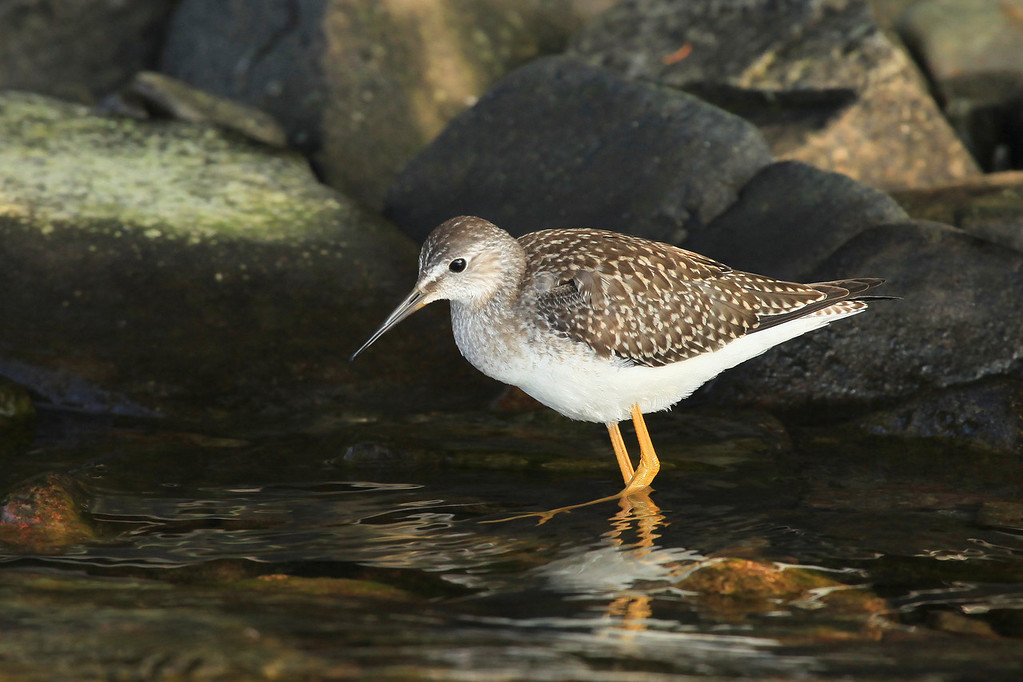"SUNDAY, SEPTEMBER 2, 2012<br /> <br /> ANIMALS BY AIR 0701<br /> <br /> ""Lesser Yellowlegs""<br /> <br /> During a recent outing on Lake Superior to explore some islands, we felt extremely lucky to have the company of a trio of Lesser Yellowlegs for about half an hour. We landed on one of the local islands and as soon as we were out of the boat we noticed first one, then two and eventually three of these entertaining little birds. We watched them for a long time as they worked the protected shoreline of a small cove on the island. They were loads of fun to watch! <br /> <br /> Camera: Canon EOS 5D Mark II<br /> Lens: Canon EF 100-400mm<br /> Focal length: 400mm<br /> Shutter speed: 1/500<br /> Aperture: f/7.1<br /> ISO: 800"