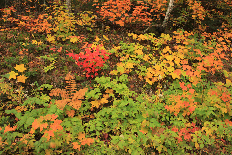 "SUNDAY, SEPTEMBER 23, 2012<br /> <br /> AUTUMN 2919<br /> <br /> ""Cornucopia of Color""<br /> <br /> A shot of the variety of fall colors seen on a drive this morning in the Minnesota Northwoods. According to the forecast, it was supposed to dip down into the 20's last night so I headed out early in the hopes of finding some nice frost-covered fields to photograph. Well, the temp never got below 35 so I did not find any frost, but the leaf colors are starting to get nice!<br /> <br /> Camera: Canon EOS 5D Mark II<br /> Lens: Canon EF 24-105mm<br /> Focal length: 24mm<br /> Shutter speed: 1/80<br /> Aperture: f/6.3<br /> ISO: 1000"