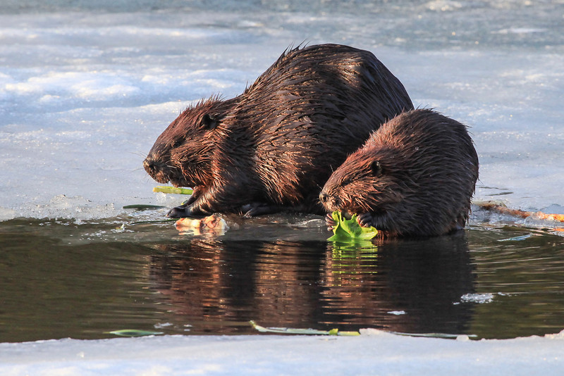"""TUESDAY, APRIL 30, 2013<br /> <br /> ANIMALS BY LAND 2457<br /> <br /> """"Beavers on the ice""""<br /> <br /> Last night I drove to a local lake near my house to see if the beavers were active yet.  As I approached the lake I could see an opening in the ice near the beaver lodge and figured they would be out.  Sure enough, as I got closer I could see two large lumps on top of the ice near the water... it was the beavers!  I spent about an hour sitting on the bank of the lake watching and photographing the beaver family.  There were four total... the parents and two young ones.  They sure were fun to watch as they took turns sitting on the ice and going for a swim.  We got a bunch of rain this morning so yesterday may have been the only opportunity to watch them on the ice.  The ice might be gone today!<br /> <br /> Camera: Canon EOS 5D Mark II<br /> Lens: Canon EF 100-400mm<br /> Focal length: 400mm<br /> Shutter speed: 1/250<br /> Aperture: f/10<br /> ISO: 1600"""