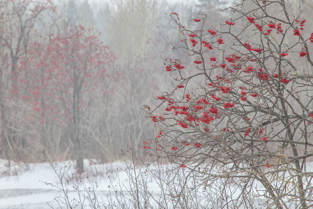 """MONDAY, DECEMBER 30, 2013<br /> <br /> FOREST 9219<br /> <br /> """"Snow Storm and Mountain Ash Berries""""<br /> <br /> Here is a follow-up image to the photo I posted earlier today.  This is a shot of some mountain ash trees that was taken just after the weather switched from calm to not-so-calm.  As I mentioned in my post this morning, the day started off very peaceful but quickly switched to stormy weather as a strong east wind came seemingly out of nowhere and was accompanied by heavy snowfall.  This photo was taken just as the heavy snow was beginning to fall from the sky.  I loved how the snow helped """"soften"""" the background and also helped to make the red berries """"pop"""" and jump out even more from the surrounding trees.  There seems to be an abundance of mountain ash berries this year, and while they are beautiful I find it difficult to capture a really nice photo of them.  I've taken quite a few photos of the berries this year and this is one of the few shots of them that I like.<br /> <br /> Camera: Canon EOS 5D Mark II<br /> Lens: Canon EF 100-400mm<br /> Focal length: 400mm<br /> Shutter speed: 0.4 seconds<br /> Aperture: f/16<br /> ISO: 200"""
