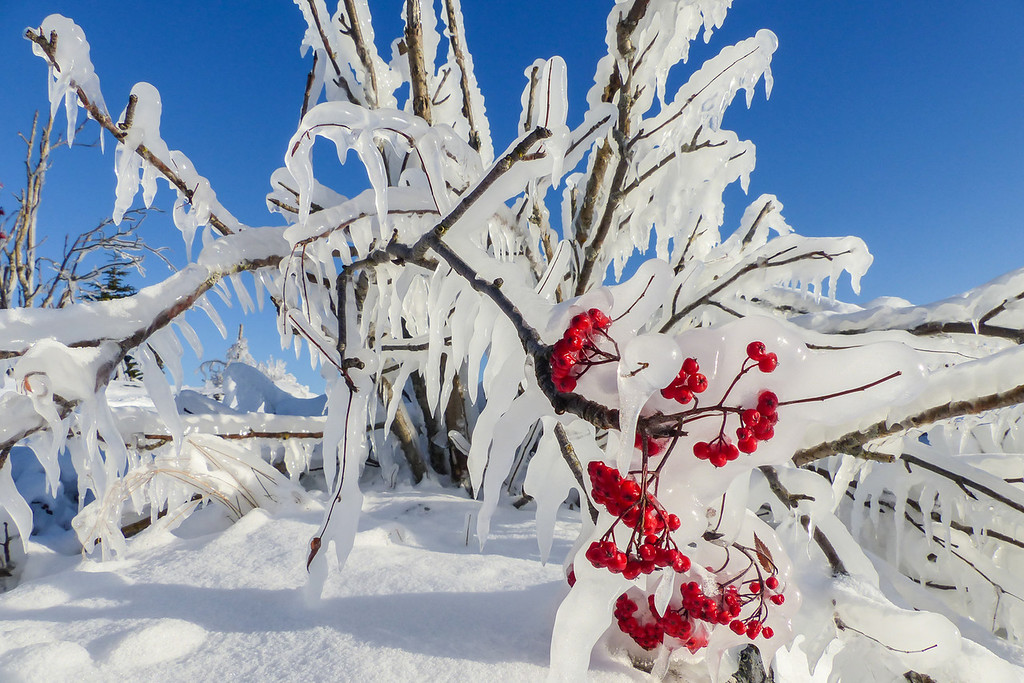 """MONDAY, DECEMBER 16, 2013<br /> <br /> SUPERIOR WINTER 1000347<br /> <br /> """"Mountain Ash Ice""""<br /> <br /> What an amazing winter this is shaping up to be!  Well, actually, it already has been an amazing winter with more snow, cold and wind than I think we had by this time the past few winters!  It is snowing again right now as I type this, with 3 to 5 inches of new snow possible by the end of today.  I went for a short drive this morning and the snow was coming down heavily, with already about 2 inches of new white powder on the ground.  Because it is snowing, the sky is pretty gray so I'm going to share an image from a blue sky day!  The photo shown here was taken along the Lake Superior shoreline and shows the beauty that can follow an intense winter storm on the big lake.  As you already know from previous images I've shared, big waves and cold temperatures mean that everything along the shoreline gets coated in ice.  I've always wanted to find a shot that would allow me to show the beauty of the ice combined with a nice, blue sky and the vivid red color of mountain ash berries.  Finding all three of these elements in a pleasing photographic composition is harder than you might think!  Recently, however, I was provided all 3 in a beautiful scene along the shores of Lake Superior.  I hope you enjoy this cold but beautiful find as much as I did!<br /> <br /> Camera: Panasonic DMC-FZ200<br /> Focal length: 25mm<br /> Shutter speed: 1/1600<br /> Aperture: f/4<br /> ISO: 100"""