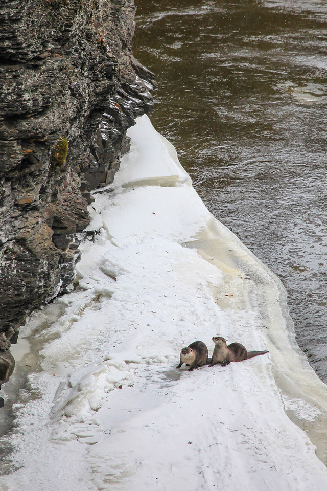 """SUNDAY, DECEMBER 1, 2013<br /> <br /> OTTERS 8643<br /> <br /> """"Pigeon River Otters""""<br /> <br /> For the past few days I've been spending a couple of hours each day sitting and waiting to get a glimpse of the otter family that seems to be living in the gorge just below High Falls at Grand Portage State Park.  Two days ago I got some fantastic video of the pair shown in this photo.  They sure are a lot of fun to watch!<br /> <br /> Camera: Canon EOS 5D Mark II<br /> Lens: Canon EF 100-400mm<br /> Focal length: 400mm<br /> Shutter speed: 1/500<br /> Aperture: f/8<br /> ISO: 800"""