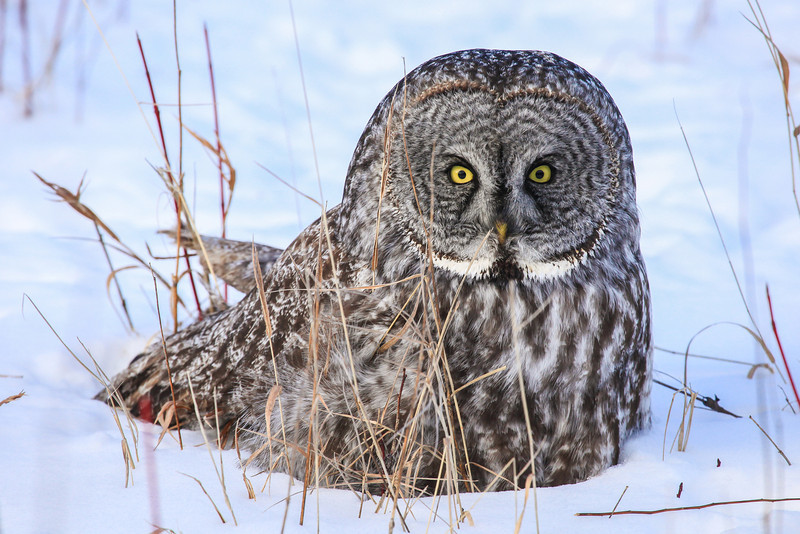 "WEDNESDAY, FEBRUARY 6, 2013<br /> <br /> ANIMALS BY AIR 0491<br /> <br /> ""Great Grey Owl in The Meadow""<br /> <br /> Yesterday there was a Great Grey Owl hanging out in the meadow at Grand Portage National Monument for most of the day.  I had been gone out of town for most of the day photographing other things and when I got home there were messages from Jessica waiting for me throughout the village.  Luckily the first place I stopped was the post office where our local postmaster conveyed the message from Jessica about the owl.  So, I headed over to where the bird had been seen and there he was, sitting on the ground out in the meadow.  At first I thought he must have been hurt, because I was told that he had been sitting there all day long.  Eventually, though, he did fly away and seemed to be perfectly fine.  Seeing this owl was the highlight of my day for sure!<br /> <br /> Camera: Canon EOS 5D Mark II<br /> Lens: Canon EF 100-400mm<br /> Focal length: 400mm<br /> Shutter speed: 1/640<br /> Aperture: f/8<br /> ISO: 1000"