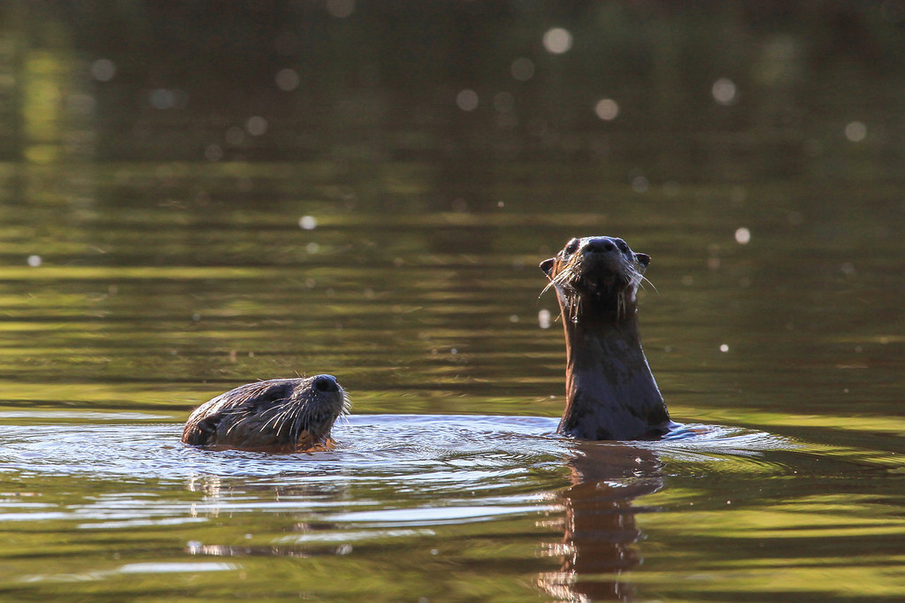 """SATURDAY, JULY 20, 2013<br /> <br /> OTTERS 5060<br /> <br /> """"Pigeon River Otters""""<br /> <br /> Jessica and I were kayaking on the Pigeon River the other day when we had an incredibly fun experience with an Otter family!  We were exploring the small islands in the wide part of the river just downstream from the rapids below High Falls.  Jessica was paddling ahead of me and I was looking down a channel between two of the islands when I heard Jessica say in a loud whisper """"There's otters right over there!""""  I looked and sure enough, not more than 25 feet off the bow of her kayak, a family of otters was swimming around against the bank along the side of the river.  I slowly paddled over to get a closer look.  They didn't seem bothered by us at all, probably because they are used to boats in this section of the river (it is a popular area for local fishermen).  We watched them for a minute or two then realized that there was one otter that was a lot smaller than the others.  The little one was adorable as he/she bobbed up and down in the water, trying to get a better look at us.  We enjoyed their company for about another 10 minutes then they all swam off down one of the channels in between the islands.  We were glowing from the experience as we paddled back to the boat landing :-)<br /> <br /> Camera: Canon EOS 5D Mark II<br /> Lens: Canon EF 100-400mm<br /> Focal length: 375mm<br /> Shutter speed: 1/800<br /> Aperture: f/10<br /> ISO: 1000"""