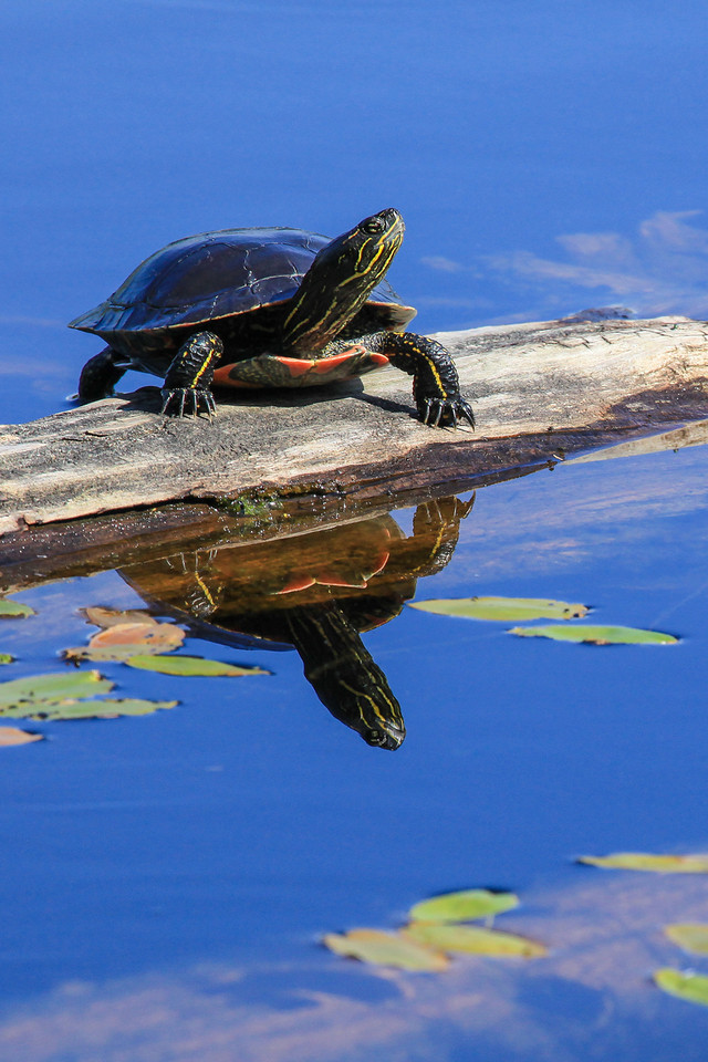 "FRIDAY, JULY 12, 2013<br /> <br /> ANIMALS BY LAND 5011<br /> <br /> ""Painted Turtle, North Lake""<br /> <br /> It's turtle season!  This time of year the turtles are very active as they leave the relative safety of their lakes and rivers in search of a place to lay their eggs.  Just the other day at work we had a huge snapping turtle crawl out of the Pigeon River and walk right up the path behind our visitor center and lay eggs in the soil right next to the building.  And, the last couple of times we've gone for a drive up in the woods, we've seen painted turtles all over the gravel logging road that passes by Turtle, Swede and North Lakes.  The painted turtle shown in this photo was sunning itself on a log along the shoreline of North Lake.  This log has been there for many years and each year I see several turtles sunning themselves on it.  They sure are cute!<br /> <br /> Camera: Canon EOS 5D Mark II<br /> Lens: Canon EF 100-400mm<br /> Focal length: 400mm<br /> Shutter speed: 1/1000<br /> Aperture: f/11<br /> ISO: 800"