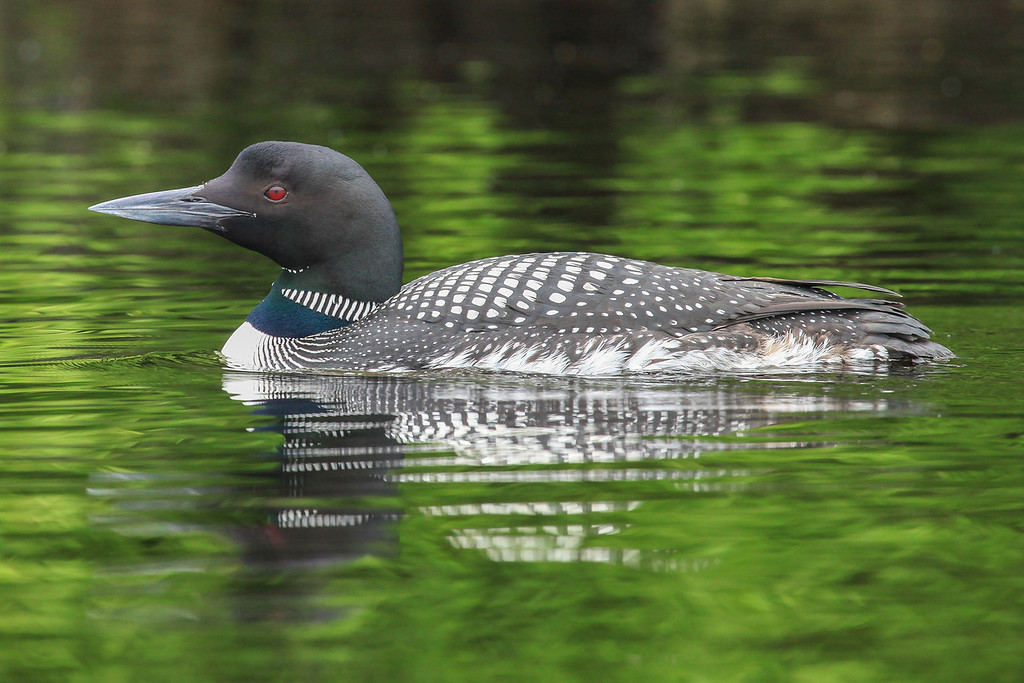 "WEDNESDAY, JULY 10, 2013<br /> <br /> LOON 4798<br /> <br /> ""Loon on Elbow Lake""<br /> <br /> Here is a shot of the loon that we saw during our kayak outing on Elbow Lake.  We were paddling very close to shore and almost ran into this loon as it was not moving at all.  All of a sudden I looked ahead (I had been looking directly at the shoreline as I paddled) and there was the loon, floating not more than 50 feet in front of me.  I stopped paddling and pulled out my camera, snapping pictures as I drifted by.  I got to within 20 feet of him/her as my momentum carried me past.  After drifting by the loon we turned around and slowly paddled back.  The loon stayed where it was for a minute or two, then slowly swam down the shore a short distance before swimming out towards the center of the lake. Encounters with loons are always very special.  I treasure the moments when I am able to see these beautiful birds up close!<br /> <br /> Camera: Canon EOS 5D Mark II<br /> Lens: Canon EF 100-400mm<br /> Focal length: 375mm<br /> Shutter speed: 1/250<br /> Aperture: f/8<br /> ISO: 1000"