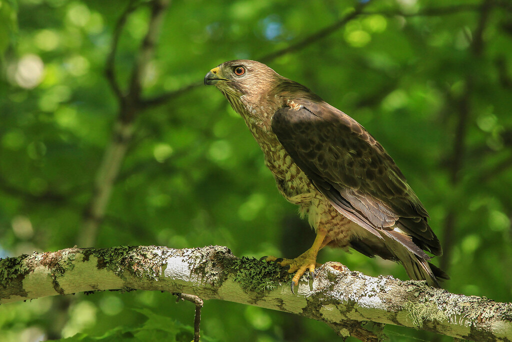 """SUNDAY, JULY 7, 2013<br /> <br /> ANIMALS BY AIR 4659<br /> <br /> """"Broad-winged Hawk""""<br /> <br /> As we drove home from kayaking the other day we had the distinct pleasure of an encounter with this beautiful little Broad-winged Hawk.  We were driving slowly down an old logging road when we came around a corner and this hawk, who had been sitting in the road, flew up into a tree.  It's not that uncommon to run across these guys while driving the back roads of northern Minnesota, but usually they fly further into the trees and you can't see them.  This one landed on a branch in a tree right next to the road and sat there for a minute or two before flying away.  I was able to get several nice shots of it.  It was definitely a nice little bonus to our day!<br /> <br /> Camera: Canon EOS 5D Mark II<br /> Lens: Canon EF 100-400mm<br /> Focal length: 375mm<br /> Shutter speed: 1/200<br /> Aperture: f/10<br /> ISO: 800"""