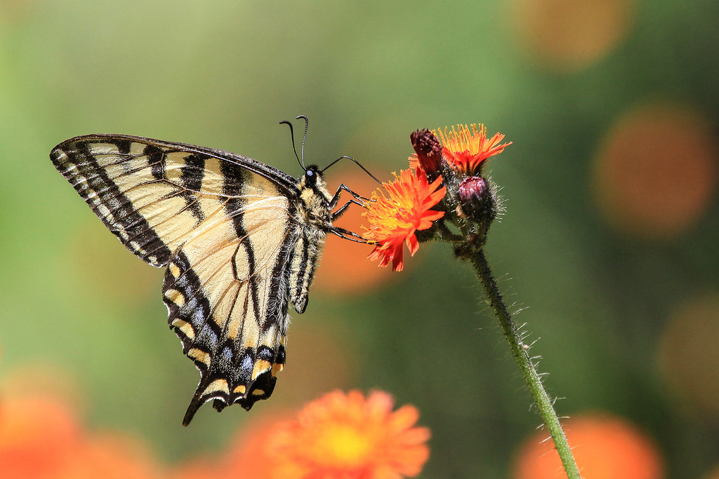 """WEDNESDAY, JULY 3, 2013<br /> <br /> INSECTS 4626<br /> <br /> """"Swallowtail and Hawkweed""""<br /> <br /> Wildflowers are blooming like crazy everywhere right now and local insects are loving it!  I captured this Swallowtail butterfly enjoying a patch of hawkweed along Esther Lake Road in Grand Portage State Forest recently.  Both sides of the road were lined with millions of flowers and it was difficult to pick out a particular patch to photograph.  That is, until Jessica noticed a field of hawkweed combined with a large patch of bunchberry!  We stopped to photograph the flowers and that's when this swallowtail flew in and began working the hawkweed.  I got down on my stomach to get at eye level with the butterfly.  There was a constant breeze, so getting a sharp exposure was a challenge as the flowers kept waving back and forth.  Eventually I got a good one :-)<br /> <br /> Camera: Canon EOS 5D Mark II<br /> Lens: Canon EF 100-400mm<br /> Focal length: 400mm<br /> Shutter speed: 1/1250<br /> Aperture: f/8<br /> ISO: 400"""