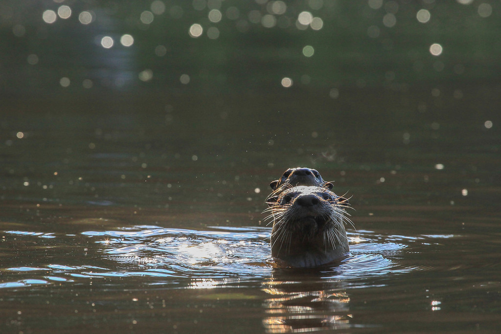 "SATURDAY, JULY 20, 2013<br /> <br /> OTTERS 5059<br /> <br /> ""Pigeon River Otters""<br /> <br /> Camera: Canon EOS 5D Mark II<br /> Lens: Canon EF 100-400mm<br /> Focal length: 375mm<br /> Shutter speed: 1/1000<br /> Aperture: f/11<br /> ISO: 1000"