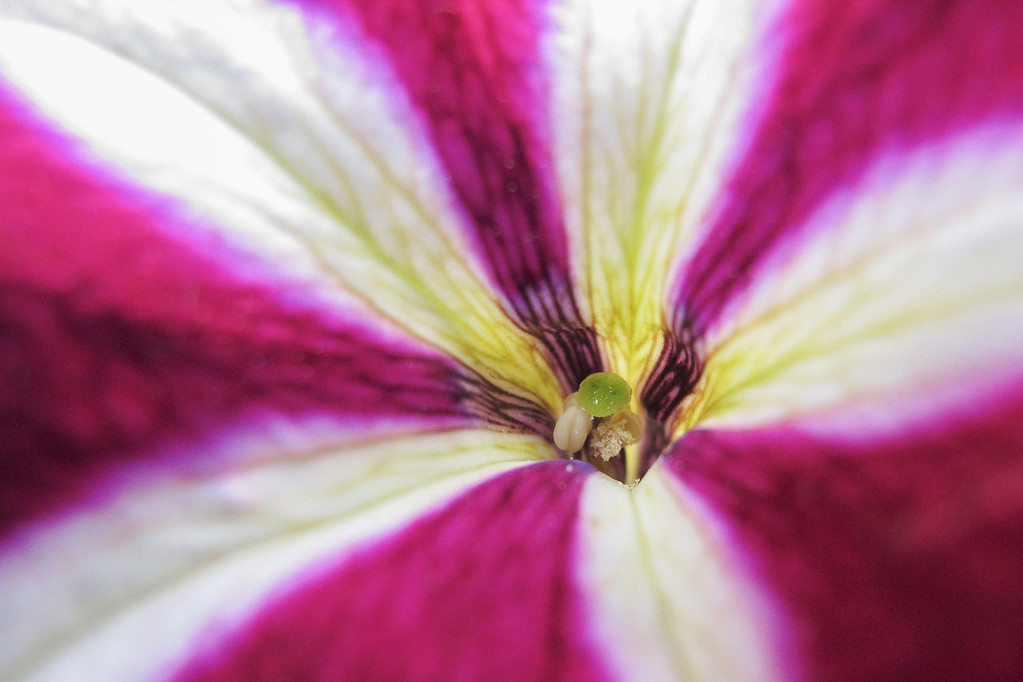 "FRIDAY, JUNE 21, 2013<br /> <br /> MACRO 6465<br /> <br /> ""Petunia detail""<br /> <br /> I had some fun today taking pictures of the flowers Jessica recently planted around the yard.  This is my favorite shot of the bunch that I took today.  I need to buy a macro lens again for my big camera, I haven't had one now for a few years and I miss it.  This was taken with my small point-and-shoot camera, a Canon PowerShot G11.  It does nice macro work! <br /> <br /> Camera: Canon PowerShot G11<br /> Focal length: 6.1mm<br /> Shutter speed: 1/20<br /> Aperture: f/2.8<br /> ISO: 400"