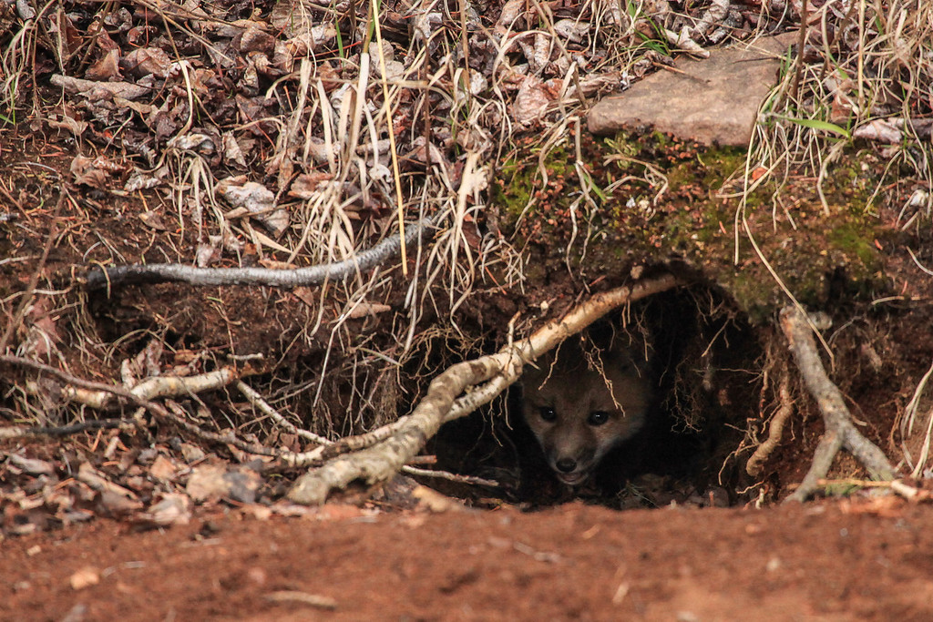 "SUNDAY, MAY 5, 2013<br /> <br /> FOX 2870<br /> <br /> ""Hiding in the den""<br /> <br /> Camera: Canon EOS 5D Mark II<br /> Lens: Canon EF 100-400mm<br /> Focal length: 400mm<br /> Shutter speed: 1/250<br /> Aperture: f/5.6<br /> ISO: 2500"