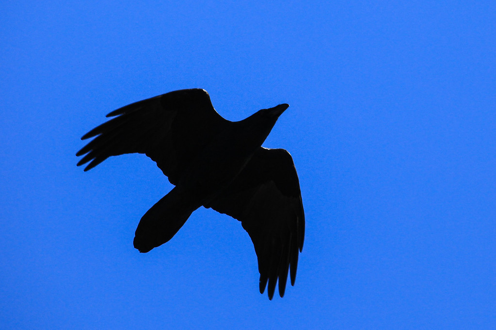 "WEDNESDAY, NOVEMBER 13, 2013<br /> <br /> ANIMALS BY AIR 4743<br /> <br /> ""Raven fly-by""<br /> <br /> I was out clearing some trail yesterday on Jessica's deer hunting route when a group of ravens flew directly overhead.  Of course, I had my camera with me and I saw them coming from a distance so I grabbed the camera and snapped some photos of them as they flew right over me.  They were low enough that I could hear the wind through their wings as they flew past.  It was a pretty cool experience :-)<br /> <br /> Camera: Canon EOS 5D Mark II<br /> Lens: Canon EF 100-400mm<br /> Focal length: 400mm<br /> Shutter speed: 1/1000<br /> Aperture: f/10<br /> ISO: 800"
