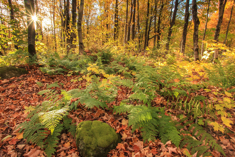 """SATURDAY, OCTOBER 19, 2013<br /> <br /> MICHIGAN 2459<br /> <br /> """"Autumn Afternoon in the Porcupine Mountains""""<br /> <br /> The Porcupine Mountains in Michigan have some of the most beautiful forest I've ever seen.  This photo was made in a random location along South Boundary Road in Porcupine Mountains Wilderness State Park.  I was driving along when I noticed an abundance of ferns underneath the maples on the left side of the road.  The afternoon sunlight was sublime and I couldn't resist pulling over and wandering around in this section of the forest.  I wanted to spend more time in this location but I also wanted to make it to the Presque Isle River in time to photograph the river before it got dark.  Guess I'll just have to return here in the future to do some more exploring :-)<br /> <br /> Camera: Canon EOS 5D Mark II<br /> Lens: Canon EF 17-40mm<br /> Focal length: 17mm<br /> Shutter speed: 1/8<br /> Aperture: f/22<br /> ISO: 800"""