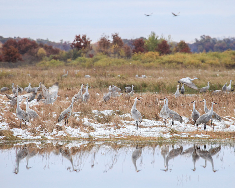 "FRIDAY, OCTOBER 25, 2013<br /> <br /> SANDHILL CRANES 2835<br /> <br /> ""Reflecting Cranes""<br /> <br /> Earlier this week Jessica and I headed south for some bird-watching.  We visited Crex Meadows Wildlife Area in Grantsburg, Wisconsin to see the Sandhill Cranes that migrate through that area in the fall.  We spent two mornings in the wildlife area and saw thousands of cranes.  It was cloudy both days so the light was pretty flat and it was COLD.  There was even a little bit of snow on the ground.  The cranes hung around for most of the morning, though, and eventually the light got good enough to get some decent shots.  This is probably my favorite photo from the trip, as I just love the reflections of the cranes in the water.  In addition to the cranes we saw several other birds including geese, ducks, coots, swans,  bald eagles, hawks, kingfishers and meadowlarks.  It sure was a fun weekend, we just wish the weather had been a little bit nicer.  We were hoping to bring our bikes along and spend some time biking around the wildlife area, but it was too cold for that :-(  <br /> <br /> Camera: Canon EOS 5D Mark II<br /> Lens: Canon EF 100-400mm<br /> Focal length: 380mm<br /> Shutter speed: 1/160<br /> Aperture: f/8<br /> ISO: 1600"