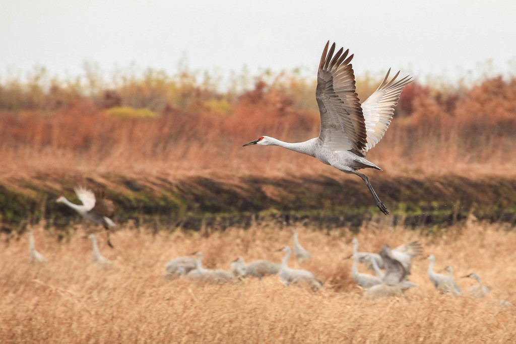 "SUNDAY, OCTOBER 27, 2013<br /> <br /> SANDHILL CRANES 3041<br /> <br /> ""Autumn Wings""<br /> <br /> When it comes to cranes, it's always hard to pick a ""favorite"" shot.  That being said, I think this is my favorite image from this year's trip to see the cranes at Crex Meadows Wildlife Area in Wisconsin.  This is also one of the last photos I took before we left the wildlife area.  I love the flight pose of the bird in the foreground and I love the shallow depth of field making everything in the background softly out of focus.  The two cranes taking flight (one sharp in the foreground and one soft in the background) tie the the two areas of focus together nicely.  Such magnificent birds!  I have been photographing them for close to 10 years and I never tire of seeing them. <br /> <br /> Camera: Canon EOS 5D Mark II<br /> Lens: Canon EF 100-400mm<br /> Focal length: 390mm<br /> Shutter speed: 1/400<br /> Aperture: f/10<br /> ISO: 1600"