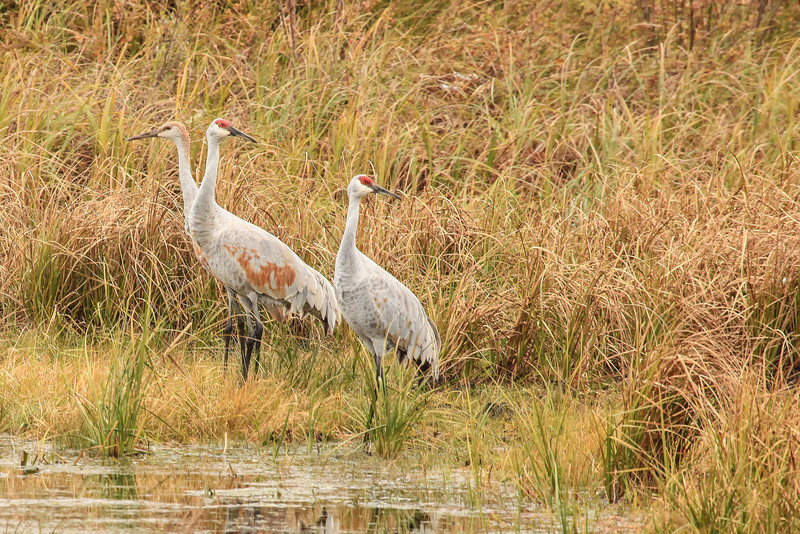 """SATURDAY, OCTOBER 26, 2013<br /> <br /> SANDHILL CRANES 3025<br /> <br /> """"Crane Family""""<br /> <br /> One of the neat things we really noticed this year during our visit to Crex Meadows was the seemingly high number of young cranes (called colts).  Last year we didn't really notice them but the conditions were not good for visibility either thanks to heavy fog cover.  This year we noticed a lot of them.  They are easy to tell apart from the adults because their heads are brown and haven't yet developed the distinctive red patch that is found on the adults.  They are also, of course, quite a bit smaller than the adults.  We saw several family groups of three, with two adults and one colt.  I don't remember seeing any groups of four, with two colts, but it sure was neat watching these family groups stick together and watch out for each other.  In this picture you can see the colt on the left, standing partially behind one of the adults.  <br /> <br /> Camera: Canon EOS 5D Mark II<br /> Lens: Canon EF 100-400mm<br /> Focal length: 400mm<br /> Shutter speed: 1/250<br /> Aperture: f/10<br /> ISO: 1600"""