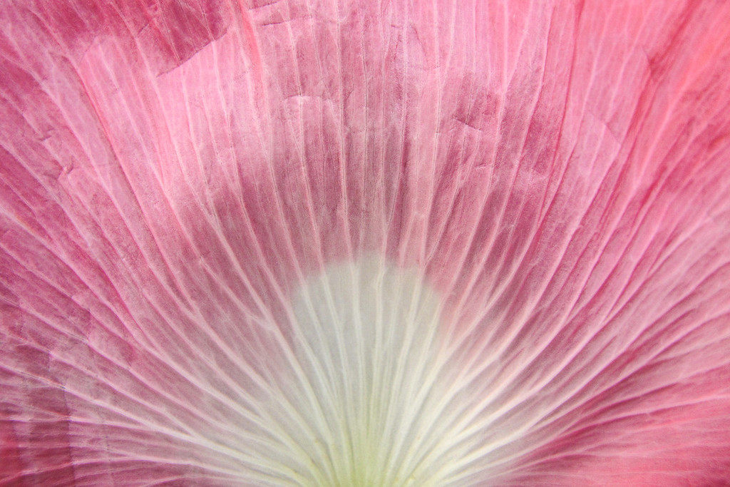 "WEDNESDAY, SEPTEMBER 11, 2013<br /> <br /> MACRO 7501<br /> <br /> ""Pink Poppy""<br /> <br /> Here we are, almost halfway through September already, but our flower gardens around the house still have a beautiful variety of blooms!  Here is a recent shot of one of our pink poppies in the front yard.  I used the macro mode on my Canon G11 camera to make this close-up, abstract image of the flower. <br /> <br /> Camera: Canon PowerShot G11<br /> Focal length: 6.1mm<br /> Shutter speed: 1/320<br /> Aperture: f/4<br /> ISO: 400"