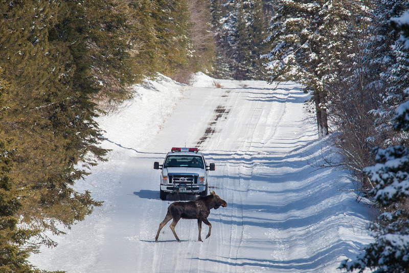 "SATURDAY, APRIL 19, 2014<br /> <br /> MOOSE 3563<br /> <br /> ""Moose Crossing""<br /> <br /> Around here, moose have the right of way!  That's a 3/4 ton Ford F-250 truck, and the moose makes the truck look small!  The truck is our local reservation conservation officer, he just happened to be driving by as this moose was hanging out on the road.  This is my first moose shot with the new Tamron 150-600mm lens and this picture was taken at 600mm.  So far I am really liking this lens!  It seems to be every bit as good as my Canon 100-400 lens.  I have a few more shots of this moose that I really like, I'll probably be sharing them later.  For now, enjoy this scene which was captured along Old Highway 61 in Grand Portage, MN!<br /> <br /> Camera: Canon EOS 5D Mark II<br /> Lens: Tamron SP 150-600mm<br /> Focal length: 600mm<br /> Shutter speed: 1/1000<br /> Aperture: f/11<br /> ISO: 400"