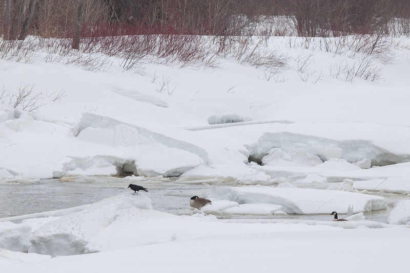 "MONDAY, APRIL 7, 2014<br /> <br /> ANIMALS BY AIR 2775<br /> <br /> ""Waiting for the river to open up""<br /> <br /> Yesterday I went for a hike along the Pigeon River in Grand Portage State Park to check the status of the ice on the river.  High Falls is still frozen, but each day there gets to be a little more open water on the half-mile stretch of river just downstream from the falls.  Today there were a few Canada Geese and some ravens that were hanging out by the open water.  The geese were taking turns napping along the edge of the water and I could easily imagine them being frustrated at the amount of ice that still exists on the river.  They are used to returning this time of year and finding more open water.  At any rate, the temps have increased since last week and we are seeing more snow melting and compacting.  It shouldn't be long now before the river is a raging torrent of water once again!  <br /> <br /> Camera: Canon EOS 5D Mark II<br /> Lens: Canon EF 100-400mm<br /> Focal length: 285mm<br /> Shutter speed: 1/400<br /> Aperture: f/16<br /> ISO: 400"