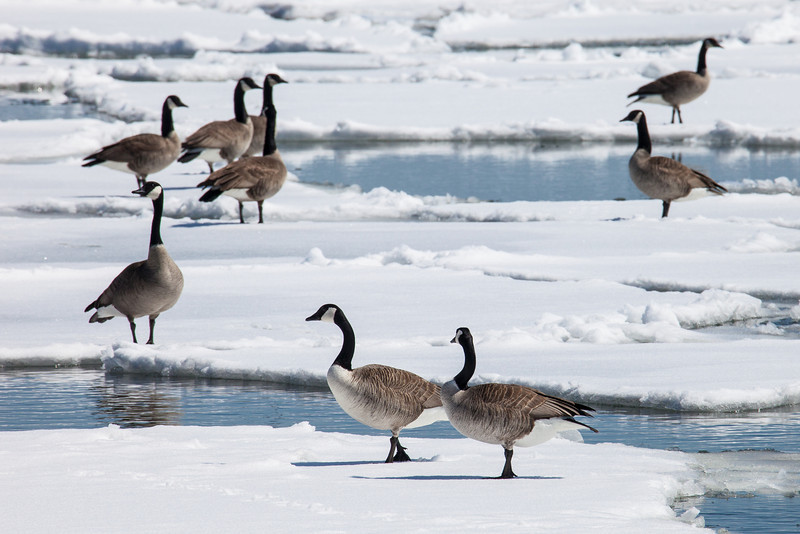 "TUESDAY, APRIL 22, 2014<br /> <br /> ANIMALS BY AIR 3746<br /> <br /> ""Enough with the ice already!""<br /> <br /> I think even the Canada Geese are getting sick of the lingering winter conditions this year!  They seem anxious for the waters to open up as they hang out on the ice that has been floating around on Grand Portage Bay this past week.  <br /> <br /> Camera: Canon EOS 5D Mark II<br /> Lens: Tamron SP 150-600mm<br /> Focal length: 600mm<br /> Shutter speed: 1/800<br /> Aperture: f/16<br /> ISO: 400"