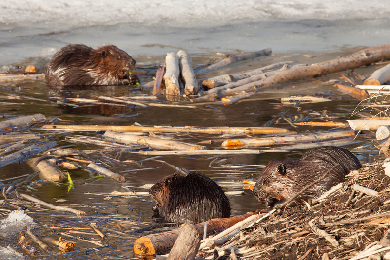 "WEDNESDAY, APRIL 23, 2014<br /> <br /> BEAVER 4021<br /> <br /> ""Spring Beaver Family""<br /> <br /> Just a short walk down the road from our house is a beautiful little lake that has a family of beaver residing on it.  Their lodge is right next to the road and each spring we enjoy watching them as the ice opens up on the lake.  Just a few days ago we noticed a small hole in the ice right next to the lodge.  They weren't coming out much at first, but now the hole in the ice is getting bigger and the beavers are very active around the hole each evening.  Yesterday we watched them for about half an hour in the evening.  They sure are a cute yet goofy creature and are a lot of fun to watch.  <br /> <br /> Camera: Canon EOS 5D Mark II<br /> Lens: Tamron SP 150-600mm<br /> Focal length: 500mm<br /> Shutter speed: 1/400<br /> Aperture: f/16<br /> ISO: 1600"