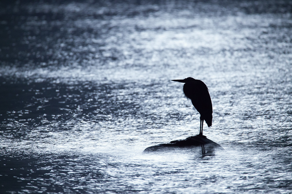 """MONDAY, AUGUST 18, 2014<br /> <br /> HERON 9080<br /> <br /> """"Heron in reflected moonlight on Lake Superior""""<br /> <br /> Remember my post from earlier today of the heron in the moonlight on Grand Portage Bay?  Well, here is another shot of the same heron, this time taken with my Tamron 150-600mm lens at 600mm.  I couldn't believe it the other night when I visited the shoreline at Grand Portage National Monument and saw this beautiful bird standing on the rock surrounded by some of the most sublime moonlight reflections I've ever seen.  <br /> <br /> As I mentioned before, I photographed the heron for about an hour and in that time he barely moved.  He did turn around on the rock once (as you can tell from my earlier picture, as he was facing the other direction in that shot) but other than that he didn't seem to be moving at all.  Of the series of images that I made, the exposure times ranged from 10 seconds on the picture you see here to 30 seconds on other pictures.  In almost every one of them the heron is nice and sharp.  There is only a hint of movement in a couple of the shots.  Maybe he was sleeping, I don't know.  All I know is that after watching him for about an hour he did finally fly away.  Seeing this beautiful bird in an equally beautiful setting made for one of the coolest night-time experiences I've ever had.<br /> <br /> Camera: Canon EOS 5D Mark II<br /> Lens: Tamron SP 150-600mm<br /> Focal length: 600mm<br /> Shutter speed: 10 seconds<br /> Aperture: f/8<br /> ISO: 1600"""