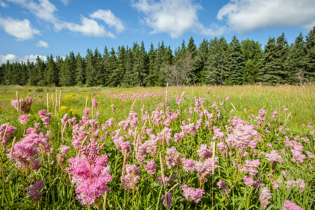 """SATURDAY, AUGUST 16, 2014<br /> <br /> FOREST 9023<br /> <br /> """"Queen of the Prairie""""<br /> <br /> A beautiful patch of a rare flower (especially for northern Minnesota!) that grows on the Grand Portage Reservation.  I've heard that this is an extremely uncommon flower, which is something that I tend to believe since I've never seen it anywhere else in Cook County.  An internet search turned up the result of """"Filipendula Rubra"""", or """"Queen of the Prairie"""".  If you know otherwise, feel free to correct me as I am certainly not an expert when it comes to rare plants.  In any case, it certainly is a beautifully eye-catching flower.  When you go past this field you can't help but notice it.  The bumblebees love it as well.  As I was photographing them I was surrounded by the bees and estimate there were at least 50 of them scattered throughout the patch of flowers.  It's amazing the amount of activity that is occurring within a patch of flowers such as this.  A quick drive-by certainly doesn't reveal much.  You need to immerse yourself in it and you'll be shocked at how much activity is going just within a small patch of flowers such as this!<br /> <br /> Camera: Canon EOS 5D Mark II<br /> Lens: Canon EF 17-40mm<br /> Focal length: 17mm<br /> Shutter speed: 1/250<br /> Aperture: f/16<br /> ISO: 400"""