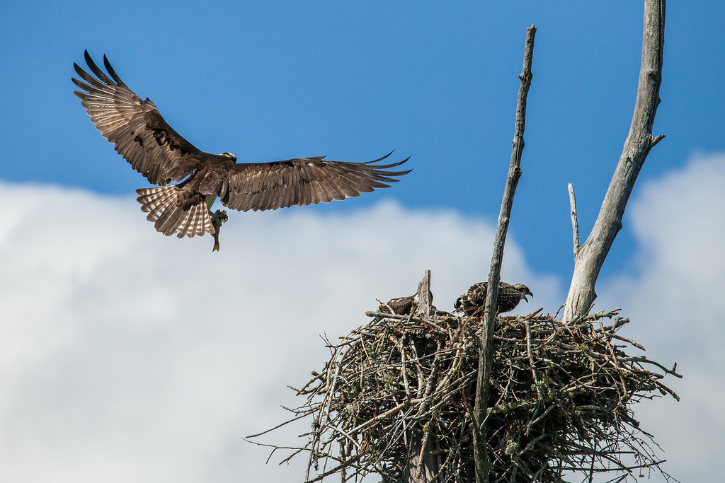 "THURSDAY, JULY 17, 2014<br /> <br /> OSPREY 8567<br /> <br /> ""Delivering a fish for the young ones""<br /> <br /> Camera: Canon EOS 5D Mark II<br /> Lens: Tamron SP 150-600mm<br /> Focal length: 500mm<br /> Shutter speed: 1/4000<br /> Aperture: f/10<br /> ISO: 800"