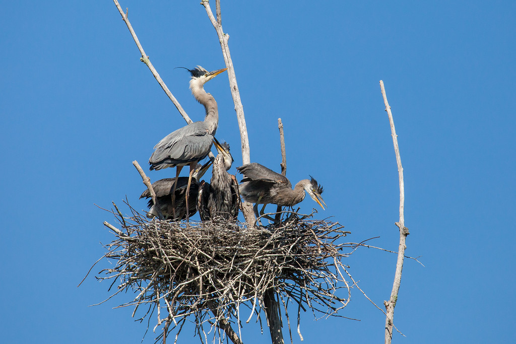 "FRIDAY, JULY 18, 2014<br /> <br /> HERON 8496<br /> <br /> ""Heron Family""<br /> <br /> Here is my favorite shot of the Herons from Thursday.  Remember the Osprey pictures that I posted yesterday?  Well, right in the same area as the Osprey nest is an entire Heron rookery!  There are at least 18 nests in the rookery, and each nest had at least two (sometimes three) young ones in it.  I sat and watched the rookery for a little over 3 hours and in that time I saw about 8 to 10 adults fly in for brief moments to feed the young ones.  The nest shown in this photo is by far the most photogenic one and I had my eyes on it all morning hoping an adult would fly to it.  I was starting to think it wasn't going to happen and eventually said to myself that I would give it another half hour then I had to start heading home.  About 15 minutes later an adult flew in and landed on the nest for less than two minutes.  That was when I made this picture :-)<br /> <br /> Camera: Canon EOS 5D Mark II<br /> Lens: Tamron SP 150-600mm<br /> Focal length: 600mm<br /> Shutter speed: 1/2000<br /> Aperture: f/10<br /> ISO: 800"