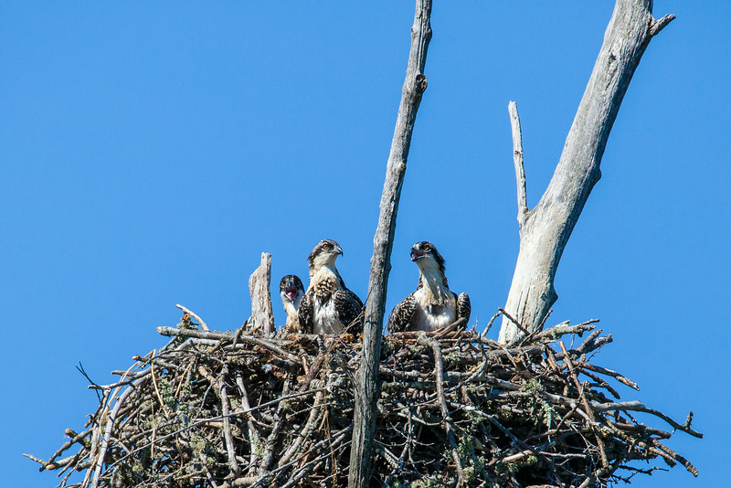 "THURSDAY, JULY 17, 2014<br /> <br /> OSPREY 8467<br /> <br /> ""Three Little Osprey""<br /> <br /> Yesterday I had the good fortune of being able to see three young osprey in their nest!  The nest is near a heron rookery and whenever an adult heron flew in to feed its young they would make a LOT of noise.  The young osprey seemed curious about all the raucous noise the young herons were making and would peek out from inside their nest to see what was going on.  Each time they peeked out I was able to make several nice images of them.  They must be getting close to leaving the nest because every now and then one of them would stand up and flap their wings like crazy, like they were testing them out.  I even got to see one of the adults bring a fish to the nest but unfortunately the osprey's back was to me when it landed.  It may not be a ""perfect"" shot, but I still like it.  It sure was a fun morning spent watching these birds!<br /> <br /> Camera: Canon EOS 5D Mark II<br /> Lens: Tamron SP 150-600mm<br /> Focal length: 600mm<br /> Shutter speed: 1/1600<br /> Aperture: f/10<br /> ISO: 800"
