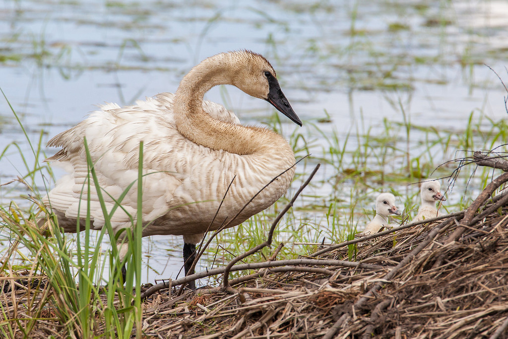 "WEDNESDAY, JUNE 18, 2014<br /> <br /> SWANS 7687<br /> <br /> ""Watching over the young ones""<br /> <br /> Camera: Canon EOS 5D Mark II<br /> Lens: Tamron SP 150-600mm<br /> Focal length: 600mm<br /> Shutter speed: 1/800<br /> Aperture: f/10<br /> ISO: 800"