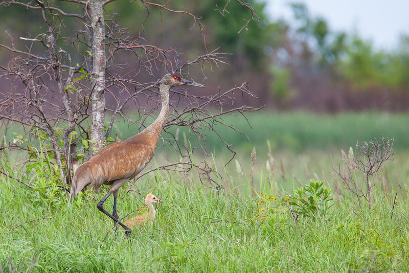 "FRIDAY, JUNE 20, 2014<br /> <br /> SANDHILL CRANES 7789<br /> <br /> ""Sandhill Crane colt with parent at Crex Meadows""<br /> <br /> As much as I enjoyed watching and photographing the various families of swans at Crex Meadows, the highlight of my day was seeing a pair of Sandhill Cranes with a young colt.  I have been traveling to Nebraska every spring for the past 7 years to photograph the cranes which is an amazing spectacle but you don't see the colts there since they aren't nesting yet.  I wasn't sure if I would ever see one in person so I was absolutely thrilled to see this family during my visit to Crex Meadows Wildlife Area in Grantsburg, Wisconsin!  At first when I came across these cranes all I could see were the adults.  I had been watching them a few moments when all of a sudden the head of the little colt popped up from the grass!  The young crane was so small that he only showed up every now and then when he got into a patch of grass that was shorter than him.  I only saw the colt for less than a minute but it was long enough to get one good shot.  After that he was back in the tall grass and I never saw him again.  I feel extremely fortunate not only to have seen the colt but also to have walked away with this shot!<br /> <br /> Camera: Canon EOS 5D Mark II<br /> Lens: Tamron SP 150-600mm<br /> Focal length: 600mm<br /> Shutter speed: 1/640<br /> Aperture: f/10<br /> ISO: 1000"