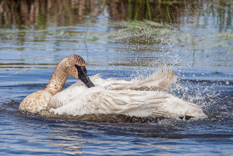 "WEDNESDAY, JUNE 18, 2014<br /> <br /> SWANS 7609<br /> <br /> ""Bathing Swan""<br /> <br /> Camera: Canon EOS 5D Mark II<br /> Lens: Tamron SP 150-600mm<br /> Focal length: 600mm<br /> Shutter speed: 1/1250<br /> Aperture: f/10<br /> ISO: 800"