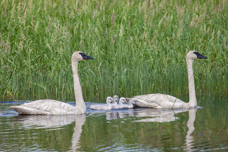 "WEDNESDAY, JUNE 18, 2014<br /> <br /> SWANS 7579<br /> <br /> ""Swan Family""<br /> <br /> Yesterday I had to make a trip to the twin cities to pick up some prints that I've had on display at the DNR offices in St. Paul for the last 3 months.  I really didn't have anything to do for the day other than pick up the prints, so I had some flexibility with my time.  On the way down I noticed the sign for the exit to Grantsburg, Wisconsin and thought to myself ""Hmmmmm.... I could make a little side trip to Crex Meadows on the way home!""  Once that thought was in my head, I couldn't resist.  I went to St. Paul, picked up my prints and turned around to head back north.  When I again got to the sign for Grantsburg, I turned east.  <br /> <br /> I arrived at Crex Meadows about 1:00 in the afternoon and spent the next 4 hours there.  It ended up being a great way to spend my afternoon as I had several nice wildlife encounters and came away with a lot of good photographs of those encounters.  The first highlight for me was seeing all the families of Swans.  I've been to Crex Meadows a few times before but never when there were baby swans around (or ""cygnets"" as they are called).  I saw half a dozen family units of Swans with numbers of young ranging from two to eight individuals.  Several of them were right close to the roadways of the refuge so I was able to get some really close shots.  My favorite encounter was the adult pair that had eight young cygnets.  They were 20 feet from the road and the adults were bathing when I came upon them.  They were both half-diving under water and splashing water on themselves, sometimes rolling almost completely over to do so.  There was a beaver lodge nearby and after bathing they walked up onto the side of the lodge and spent the next half-hour drying and preening themselves. During this time the little ones also climbed up onto the lodge and took a little nap.  It was great fun watching these beautiful birds and a delightful surprise to my afternoon!<br /> <br /> Camera: Canon EOS 5D Mark II<br /> Lens: Tamron SP 150-600mm<br /> Focal length: 500mm<br /> Shutter speed: 1/1250<br /> Aperture: f/10<br /> ISO: 800"