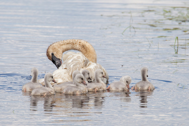 """WEDNESDAY, JUNE 18, 2014<br /> <br /> SWANS 7605<br /> <br /> """"Swan with Eight Cygnets""""<br /> <br /> Camera: Canon EOS 5D Mark II<br /> Lens: Tamron SP 150-600mm<br /> Focal length: 600mm<br /> Shutter speed: 1/1600<br /> Aperture: f/10<br /> ISO: 800"""