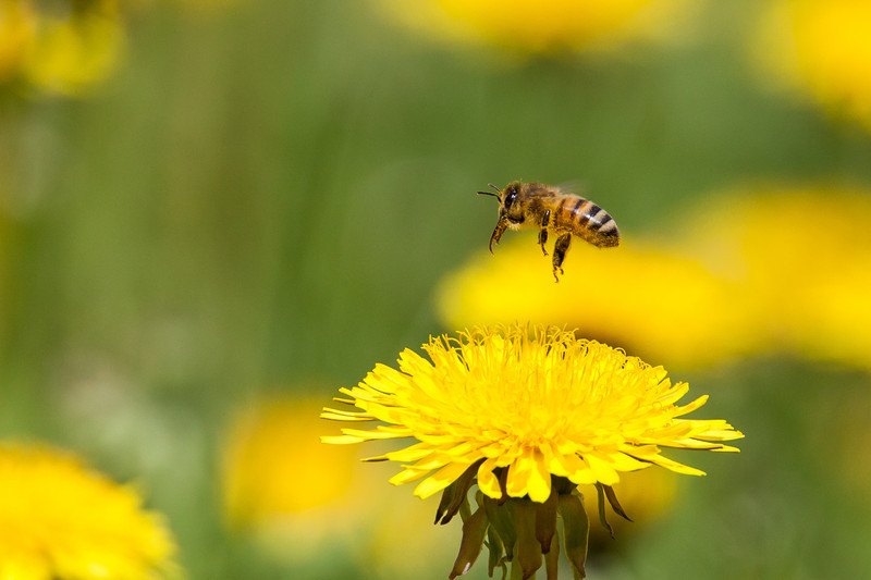 """THURSDAY, JUNE 12, 2014<br /> <br /> INSECTS 7419<br /> <br /> """"Honeybee and Dandelion""""<br /> <br /> As some of you may know, Jessica and I became beekeepers last summer.  We only have one small hive but we hope to expand in the future.  As you also may know we just experienced one of the harshest winters on record, with what seemed to be endless amounts of snowfall AND extreme cold.  The temps were below zero for many more days than I care to remember!  Cook County has quite a few beekeepers and as much as 65% of the county's honeybee population was lost due to the harsh winter.  We were extremely lucky in that our one little hive survived!<br /> <br /> But now summer is here and with it longer, warmer days.  Our bees have been loving the sunny days lately and really taking advantage of the dandelions that sprout up in the yard this time of year.  I have purposely been putting off mowing a large patch of dandelions so the bees can take advantage of them.  And let me tell you, they sure do love them!  Yesterday our dandelion patch was FILLED with honeybees!  For quite a while I laid on the ground in the middle of the dandelion patch with my telephoto lens, taking pictures of the bees.  It was quite a challenge, since they are quite small and don't seem to stay on any one flower for more than a few seconds.  Still, I came away with a few shots that I really like.  It sure was fun to lay on the ground surrounded by flowers and bees.  They were landing on flowers all around me, and sometimes landing on me too!  They had absolutely no interest in me, however, so I wasn't worried about getting stung.  They were too busy collecting pollen from the dandelions. These sure are fascinating little creatures and I love seeing them so busy right in our own yard.  We are happy to be doing our part to keep the honeybee population going!    <br /> <br /> Camera: Canon EOS 5D Mark II<br /> Lens: Tamron SP 150-600mm<br /> Focal length: 600mm<br /> Shutter speed: 1/1600<br /> Aperture"""
