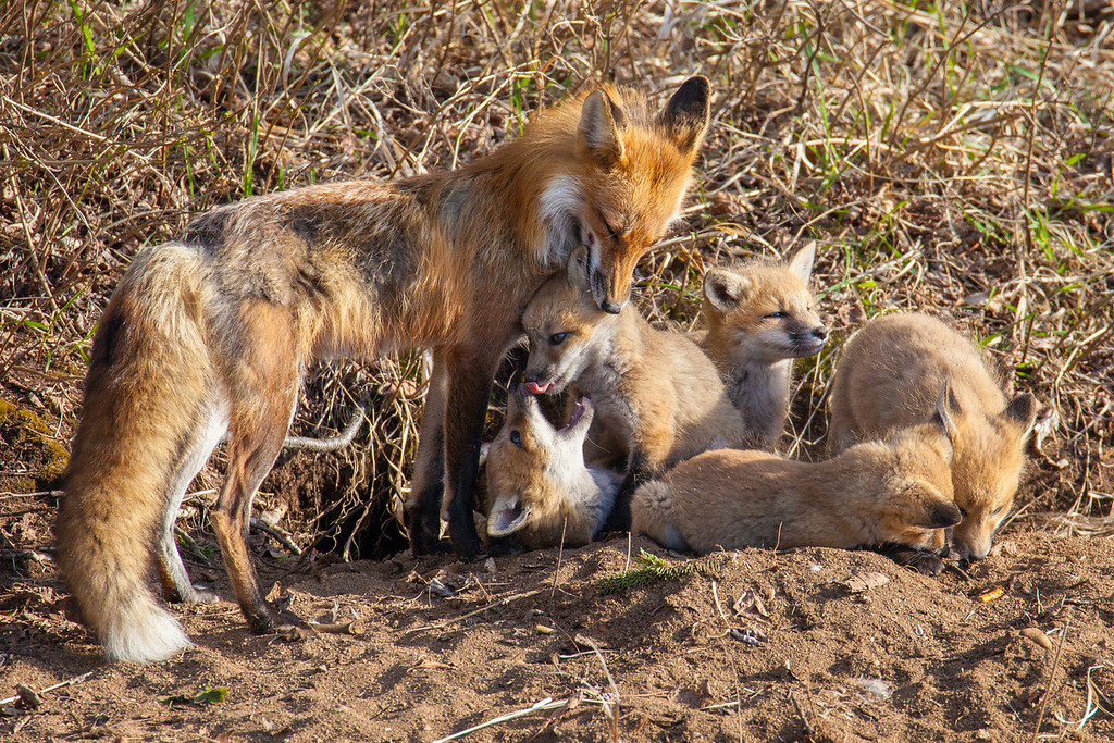 "SATURDAY, MAY 17, 2014<br /> <br /> FOX 5502<br /> <br /> ""Fox Family with 5 Kits!""<br /> <br /> This morning we got up bright and early to make the 40 minute drive to a fox den in time to catch the morning light.  Then we waited almost an hour for the family to make its appearance.  We were just starting to wonder if they were even still in the den when Jessica spotted one of the adults coming out of the woods.  The adult went to the entrance of the den and started making noises, calling the kits to come outside.  Just seconds later we saw one little fox head pop up out of the den, then another, then another until finally there were 5 of them out in the open!  All 6 of them (the five kits and the parent) sat right at the entrance to the den for a minute or two, then the adult went off into the woods. For the next half hour to 45 minutes we watched the five kits run around and play, then it was time to head back.  It sure was a fun start to our Saturday!<br /> <br /> Camera: Canon EOS 5D Mark II<br /> Lens: Tamron SP 150-600mm<br /> Focal length: 600mm<br /> Shutter speed: 1/1250<br /> Aperture: f/8<br /> ISO: 1000"
