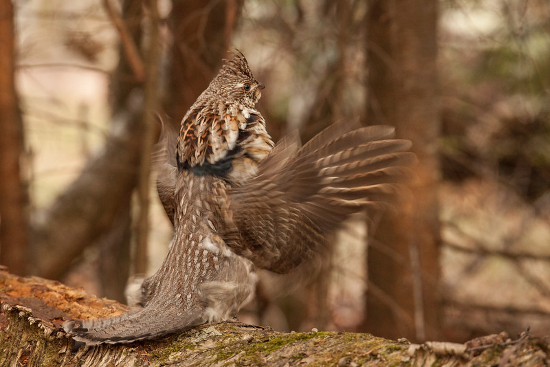"TUESDAY, MAY 20, 2014<br /> <br /> RUFFED GROUSE 5740<br /> <br /> ""Regal Ruffed Grouse""<br /> <br /> Camera: Canon EOS 5D Mark II<br /> Lens: Tamron SP 150-600mm<br /> Focal length: 400mm<br /> Shutter speed: 1/125<br /> Aperture: f/7.1<br /> ISO: 2000"