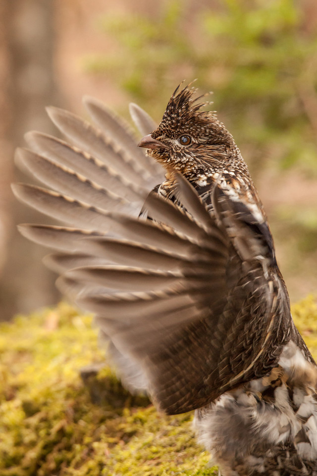 "WEDNESDAY, MAY 7, 2014<br /> <br /> RUFFED GROUSE 4853<br /> <br /> ""Drumming for a mate""<br /> <br /> As promised in my last post, here is a photo from the cool wildlife encounter that I had yesterday at Cascade River State Park.  For the past several years there has been a Ruffed Grouse drumming on the same rock in the park campground.  After photographing the waterfalls I figured I'd head over and see if he was there again this year.  Sure enough, he was!  <br /> <br /> As I slowly approached the rock I could see him standing atop it.  I got within about 12 feet then stopped and set up my tripod.  After just a minute or two he started drumming.  I watched him for about the next hour.  In my past experiences photographing drumming grouse they seem to have drummed 3 or 4 times, then leave their post for about 10 to 15 minutes before coming back to drum again.  This time, however, he drummed at least a dozen times in an hour without ever leaving the rock.  After that hour of watching him I figured I better leave him alone as a female was probably not likely to come around while I was standing there taking his picture :-)<br /> <br /> Camera: Canon EOS 5D Mark II<br /> Lens: Tamron SP 150-600mm<br /> Focal length: 450mm<br /> Shutter speed: 1/320<br /> Aperture: f/8<br /> ISO: 2500"