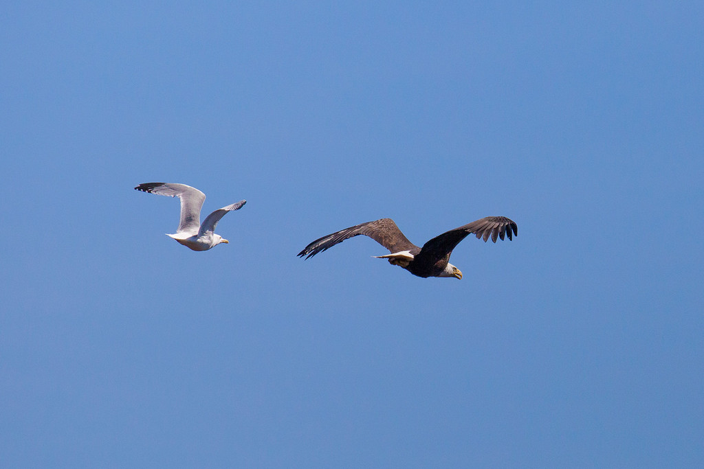 "SATURDAY, MAY 24, 2014<br /> <br /> BALD EAGLE 5891<br /> <br /> ""Gull chasing Eagle""<br /> <br /> Camera: Canon EOS 5D Mark II<br /> Lens: Tamron SP 150-600mm<br /> Focal length: 450mm<br /> Shutter speed: 1/8000<br /> Aperture: f/8<br /> ISO: 1000"