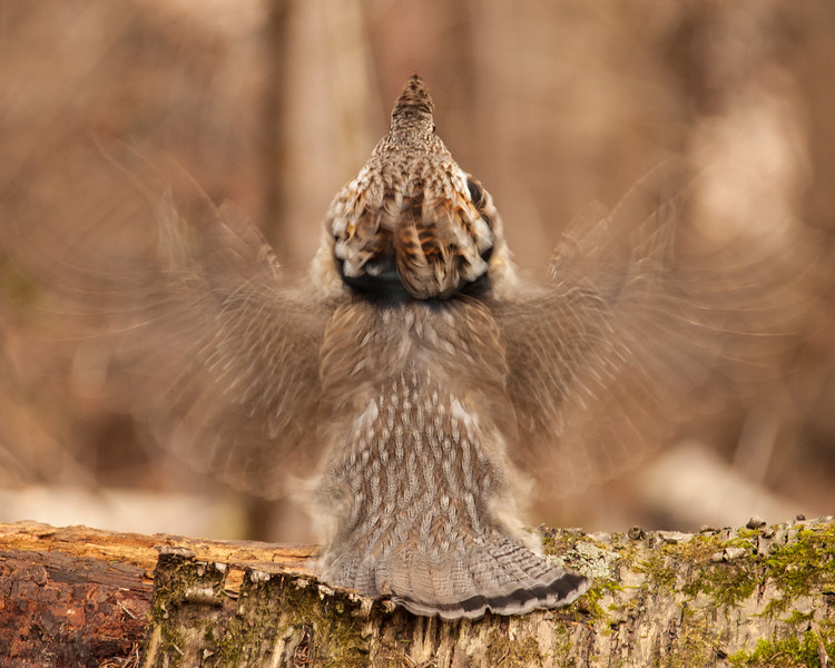 "TUESDAY, MAY 20, 2014<br /> <br /> RUFFED GROUSE 5645<br /> <br /> ""Ghostly Grouse""<br /> <br /> Camera: Canon EOS 5D Mark II<br /> Lens: Tamron SP 150-600mm<br /> Focal length: 500mm<br /> Shutter speed: 1/30<br /> Aperture: f/8<br /> ISO: 1600"